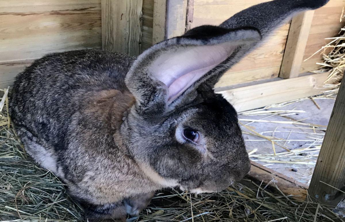 Кролика из книги рекордов Гинесса выкрали в Великобритании