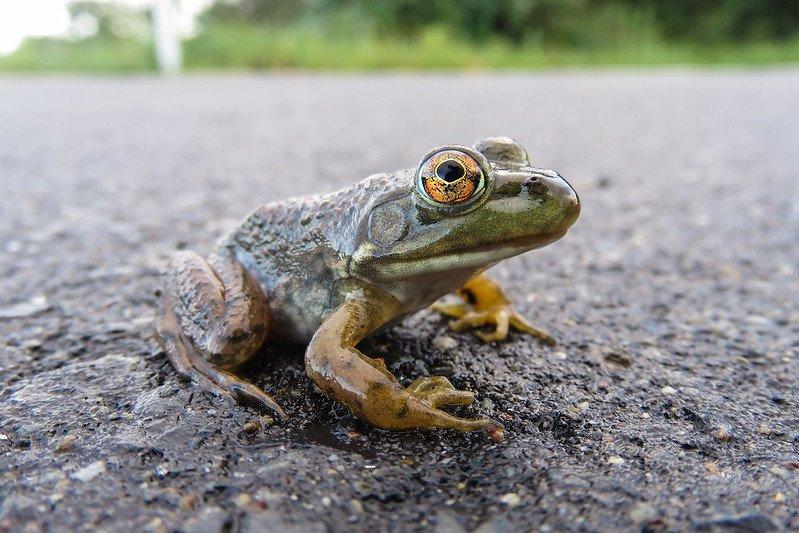 В Таллине из-за миграции жаб перекрыли одну из оживленных дорог