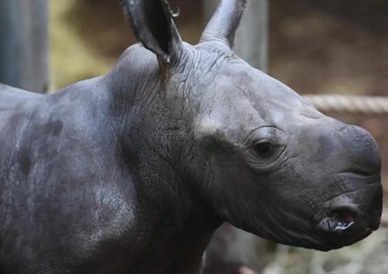 В Нидерландах в зоопарке родился редкий белый носорог (видео)