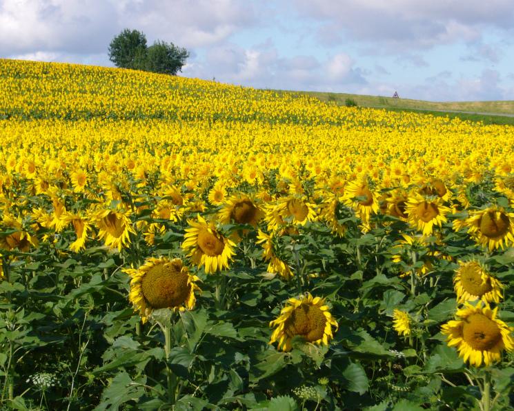 Харьковская область может продавать почти 400 тысяч тонн семечек в год