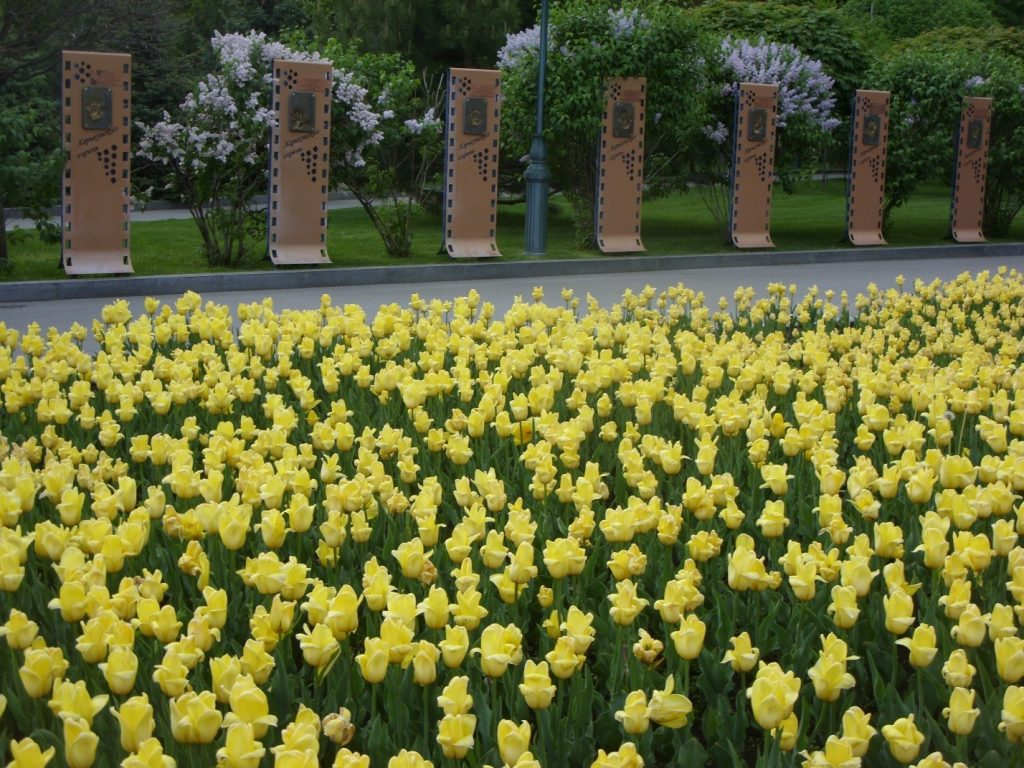 Тюльпаны цветут на клумбе