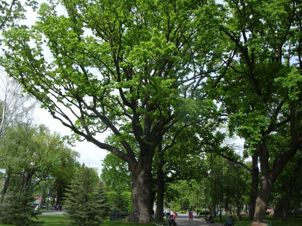 Старейший дуб в центре Харькова