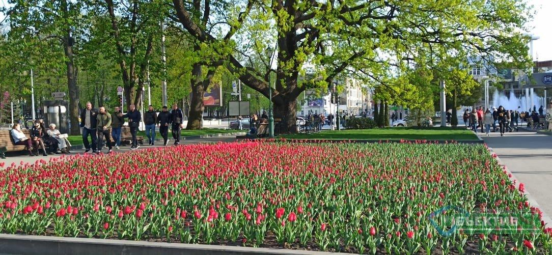 В Харькове зацвели тюльпаны (фоторепортаж, видео)