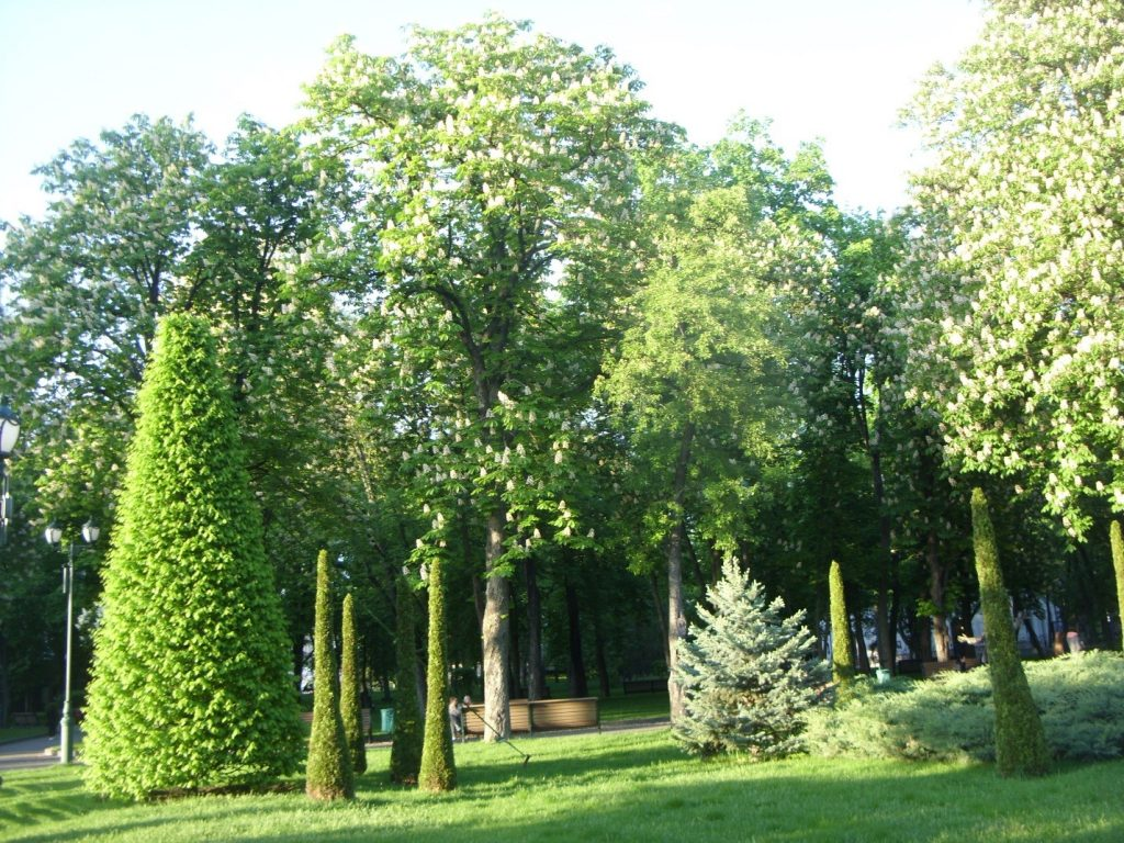 Хвойные растения в парке