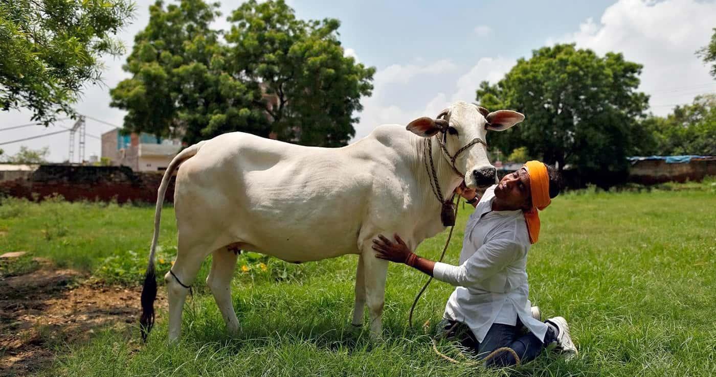 Коровий навоз от COVID-19 — в Индии вспомнили о ритуалах и священном животном