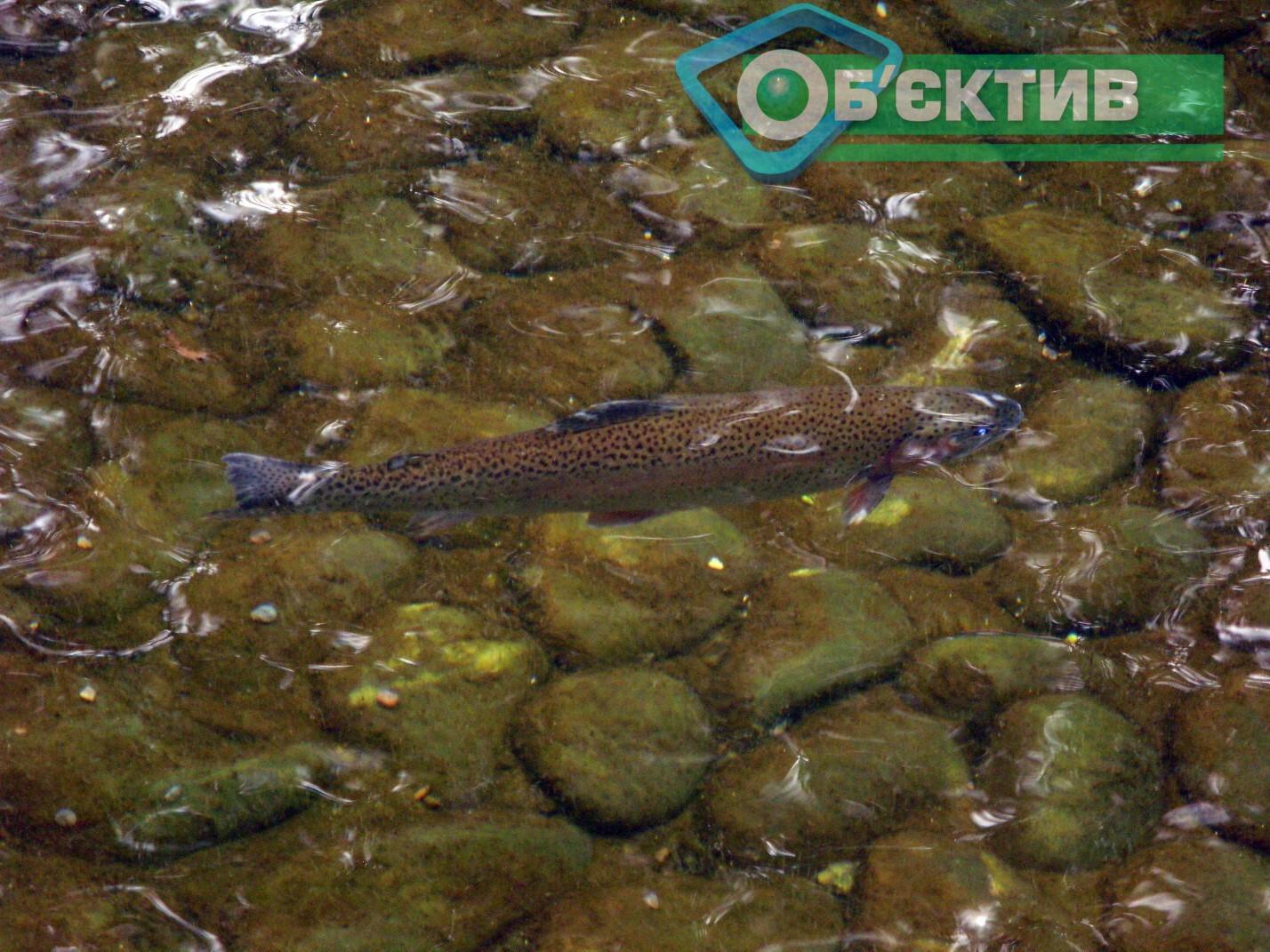 В озере в Саржином Яру плавает форель