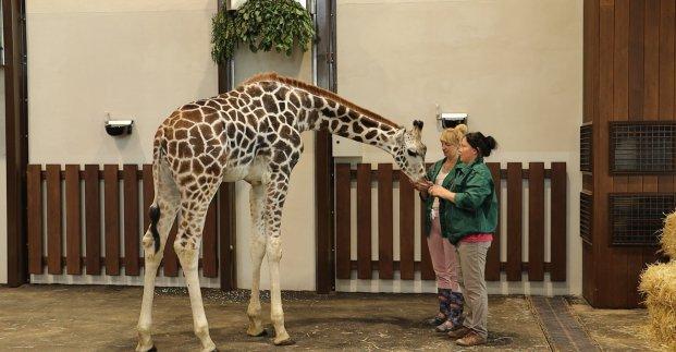 Жирафенок Дема адаптировался в Харькове