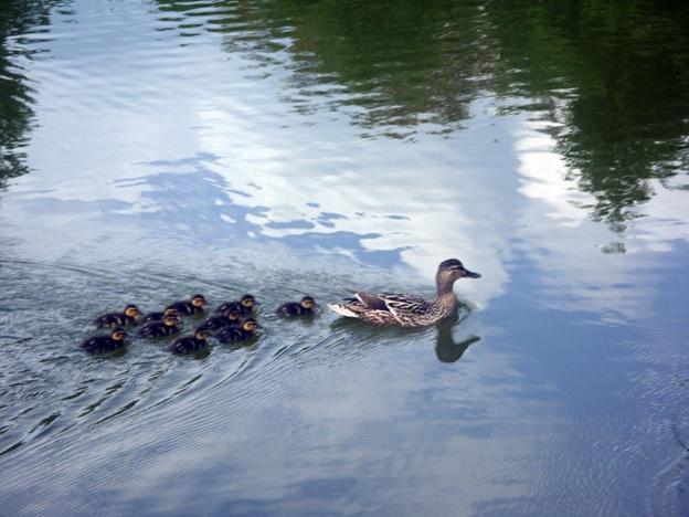 Утиный выводок плавает в озере