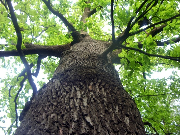 300-летний дуб в парке под Харьковом