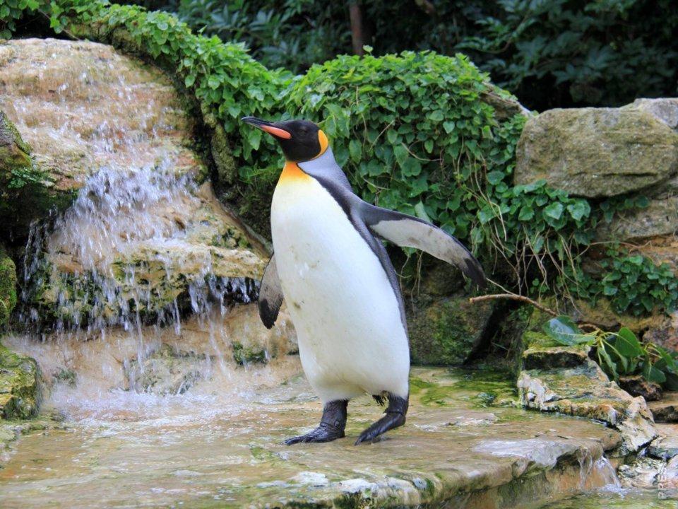 Пингвину с больными лапами пошили специальные ботинки