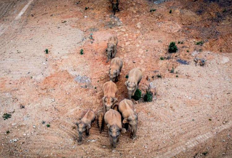 Слоны путешествуют с середины апреля