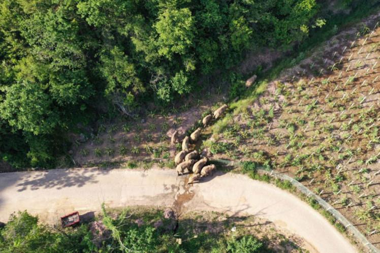 В Китае слоны-беглецы устроили за полтора месяца десятки ДТП и уничтожили гектары полей (фото)
