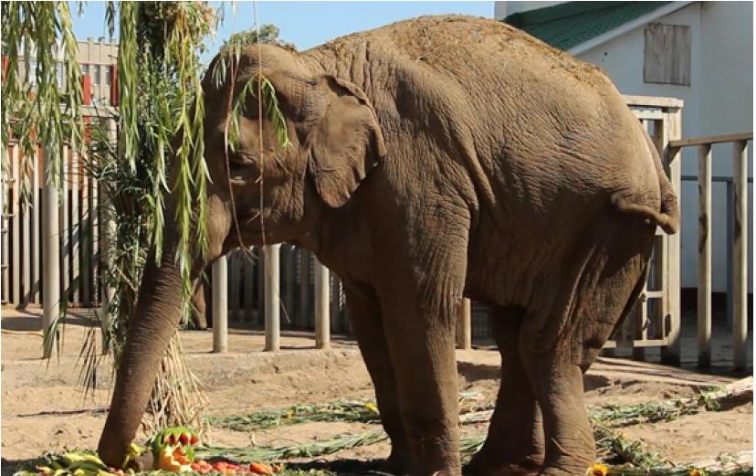 Чем болела и почему умерла слониха Тэнди: комментарии Одесского и Харьковского зоопарков