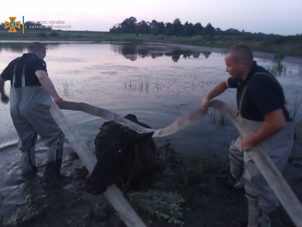 В Харьковской области корову достали из болота (фото)