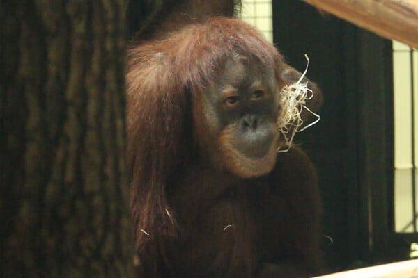 31-летняя самка суматранского орангутана в Харьковском зоопарке - фото 2