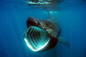 Акулы-гиганты для людей неопасны