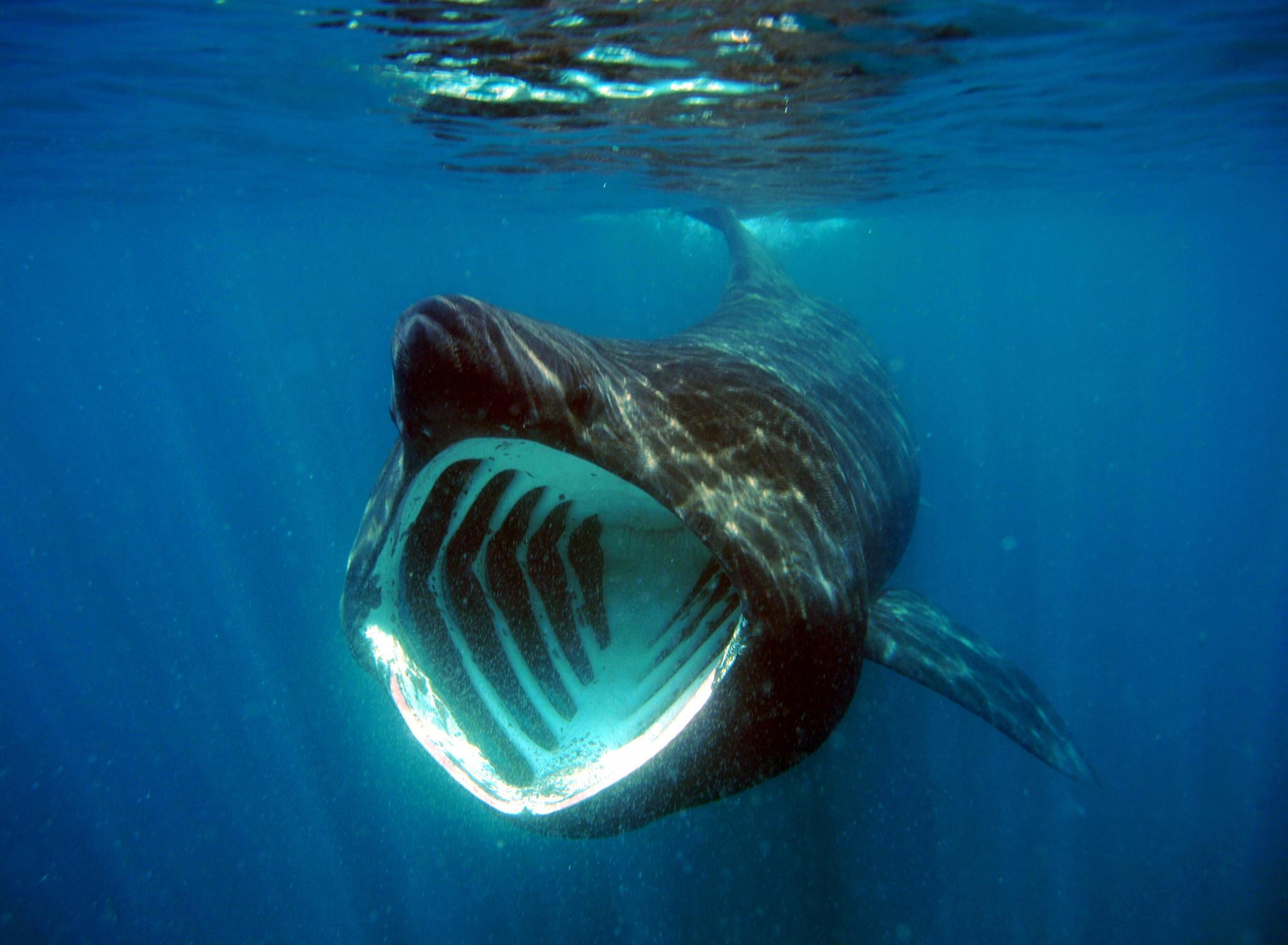 В Ирландии огромные акулы составили компанию отдыхающим (видео)