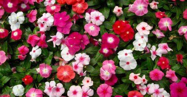 За два дня в харьковском сквере высадят 7 тысяч цветов