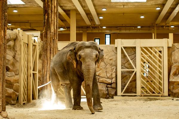 Врожденных болезней не было – в Одесском зоопарке отреагировали на смерть харьковской слонихи Тэнди