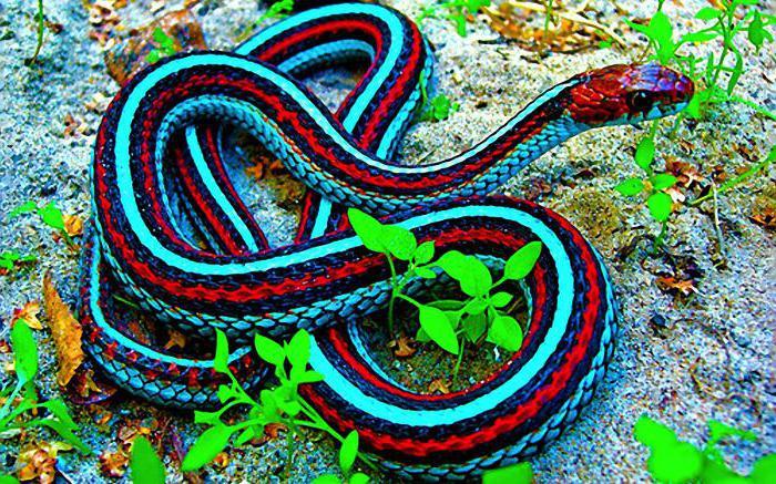 В Сан-Франциско за спасение популяции змей взялись в аэропорту (видео)