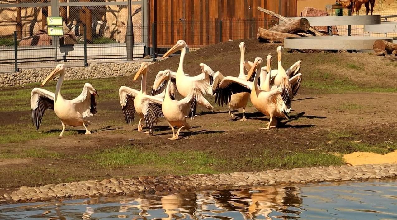 Бакланы и пеликаны из Харьковского зоопарка обживают новый вольер