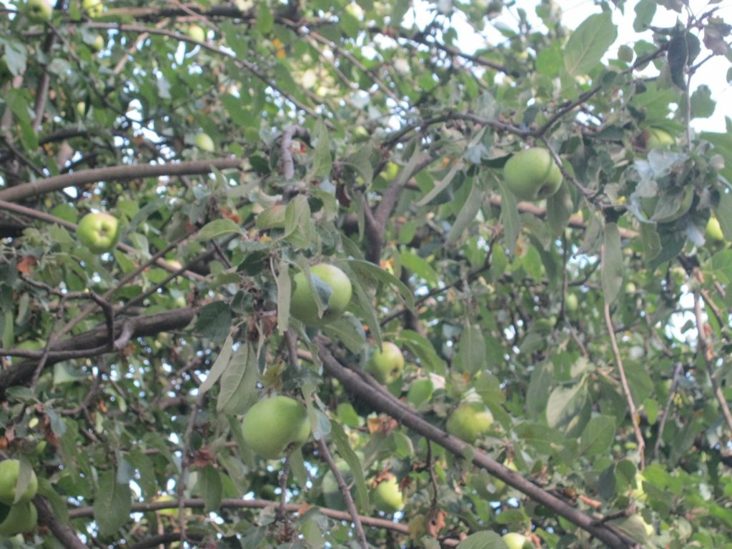 Яблоки на дереве
