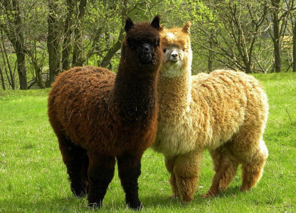 В Великобритании тестируют лекарство от коронавируса на основе крови ламы